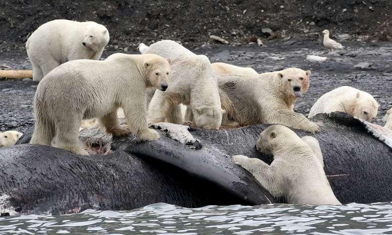 polar-bears-feeding-bowhead-whale-russia
